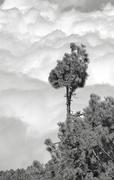 Kiefer auf La Palma - Annahme - Uwe Müller